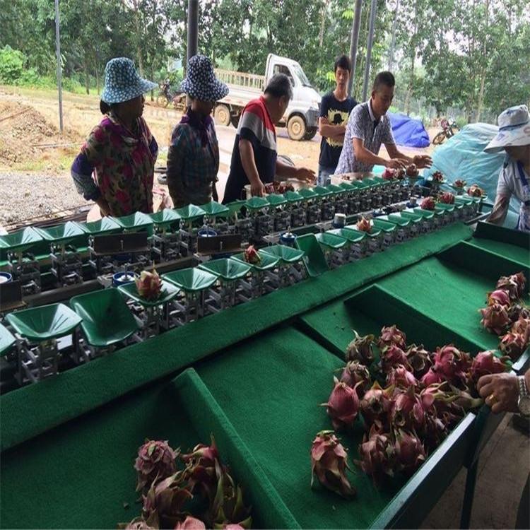 电商在用的火龙果分选机生产厂家
