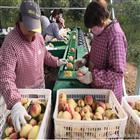 XGJ-Z浙江奉化水蜜桃重量选果机  分大小的机器