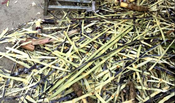 """甘蔗搶鮮上市 去皮設備在""""蔗""""里收獲效率和品質"""