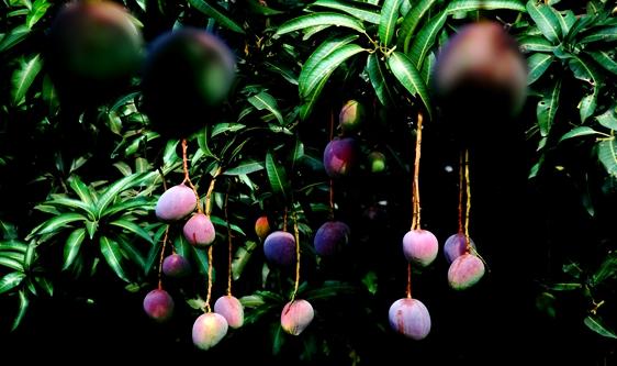 芒果飄香市場 分級、加工鑄造甜蜜產業發展新引擎